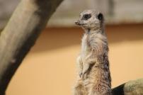 12 meerkat
