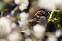 109 Welsh sparrow web