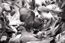 143 a pile of pigeons in Piccadilly Gardens