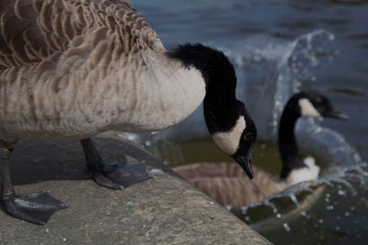 254 splashing geese on the canal web