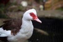 306 daffy the duck web
